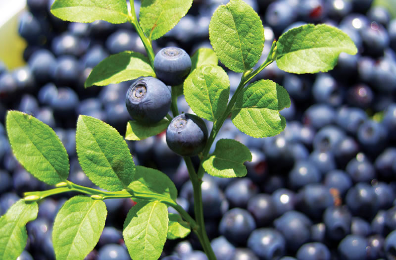 Bilberry For Pterygium